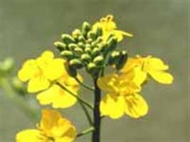 Canola aumenta as alternativas de cultivo no sistema de produção