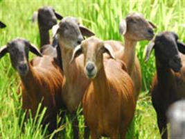 Pecuária: caprinos e ovinos apresentam crescimento no Ceará em 2016