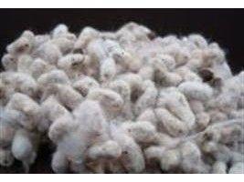 Maranhão vai aumentar em 22% produção de algodão em caroço na próxima safra