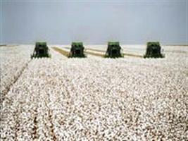 Algodão: Mato Grosso é o maior produtor nacional
