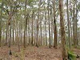 Cotações de setembro do eucalipto registra oscilações