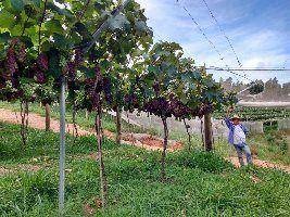 Nutrição reforçada é estratégia de produtores de uva para obter frutos mais duráveis