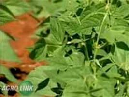 Show Rural - Apesar das chuvas, desenvolvimento das lavouras de feijão é bom no RS