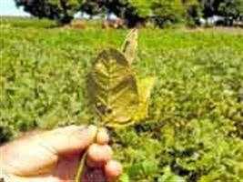 Show Rural - Ferrugem da soja desenvolve resistência a fungicidas