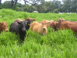 Produção e qualidade da pastagem de Hemarthia altissima cv. Flórida em sistemas de produção de leite