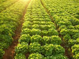 Nunhems apresenta novas variedades de alfaces com fácil desfolheamento