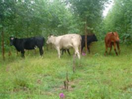 Uma revolução para o leite e pecuária de corte