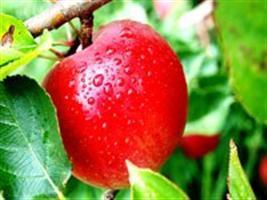 Neri Geller anuncia que o Brasil está livre da lagarta da maçã