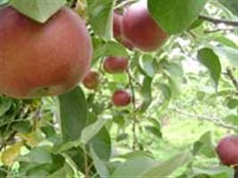 Produção nacional de maçãs terá queda em 2013