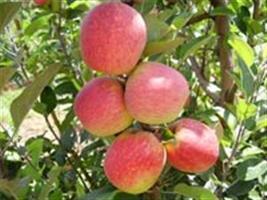 Ministério da Agricultura e produtores de maçã firmam parceria