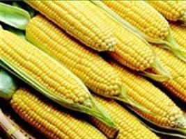 MT: vendas do milho superam os n�meros de 2013 em janeiro