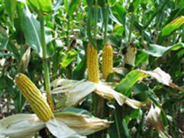 Dekalb lança segunda geração de biotecnologia para milho no Show Rural