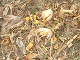 "Javali ""importado"" provoca catástrofe agrícola no Brasil"