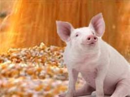 Show Rural - RS: Preço pago pelo quilo do suíno vivo é de R$ 3,56