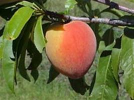 Produtores de Butiá (RS) investem no cultivo de frutas
