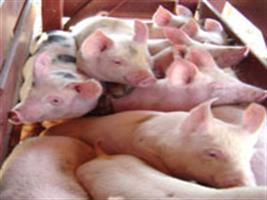 Febre aftosa e volatilidade dos preços do produtor de carne suína