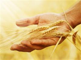 Efeito do envelhecimento acelerado na avaliação da qualidade fisiológica de sementes de trigo