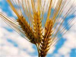 Show Rural - Trigo tolerante ao calor é desenvolvido nos EUA