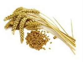 Fatores pré-colheita que afetam a qualidade tecnológica de trigo