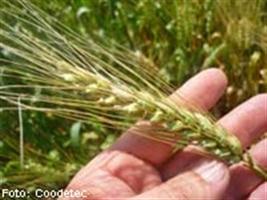 Redução no cultivo de trigo brando pode resultar em nicho de mercado