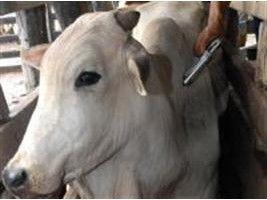 Show Rural - Vacinação contra a febre aftosa começa neste sábado no RS