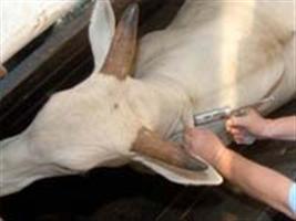 A influência da febre aftosa no preço de mercado da arroba do boi gordo recebido pelo produtor no Brasil