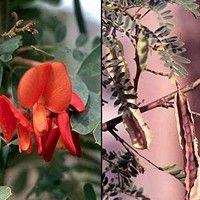 Acácia de flor vermelha