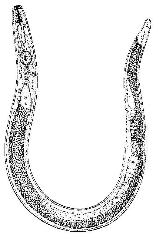 Nematoide-das-lesões