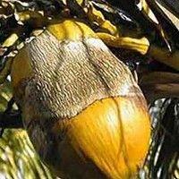 Ácaro da necrose do coqueiro