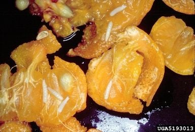 Mosca das frutas