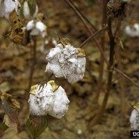 Pulgão do algodoeiro