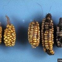 Podridão das sementes