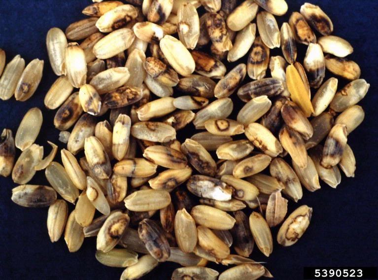 helminthosporium oryzae arroz)