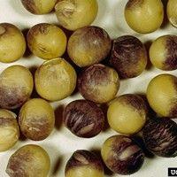 Mancha púrpura da semente