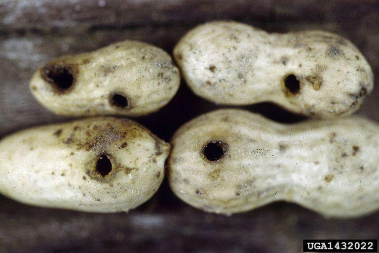 Larva arame