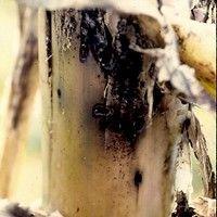 Moleque da bananeira