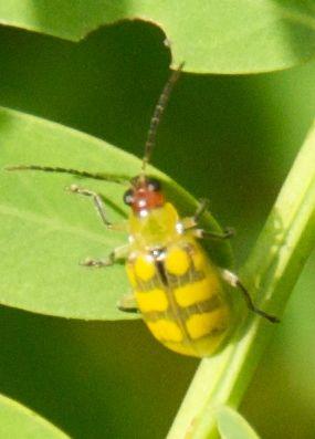 Vaquinha verde amarela