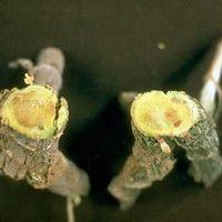 Murcha bacteriana