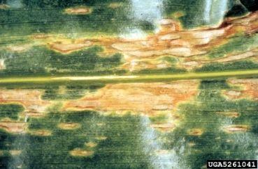 Kukorica helminthosporium turcicum, Helminthosporium turcicum kukorica