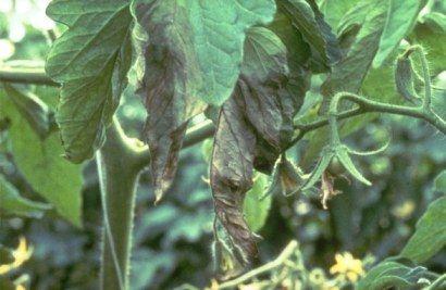 Mancha de clasdoporium