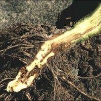 Murcha de fusarium