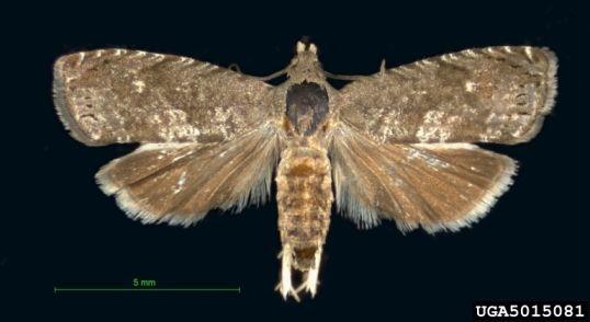 Mariposa oriental