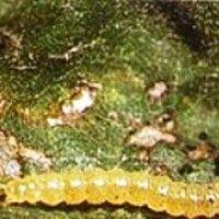 Lagarta enroladeira das folhas