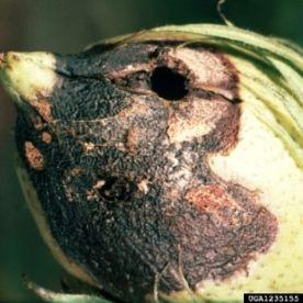 Lagarta da espiga do milho