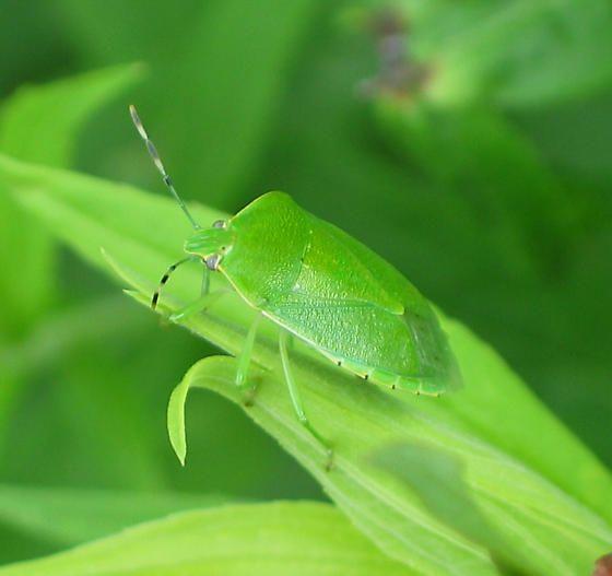 Percevejo verde