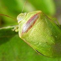 Percevejo verde pequeno da soja