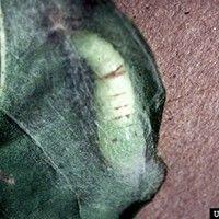 Lagarta-falsa-medideira