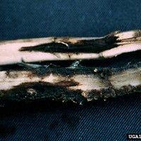 Nematóide carvenícola