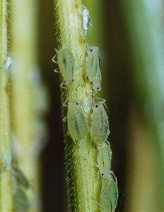 Pulgão verde dos cereais