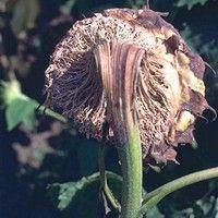 Podridão de esclerotinia